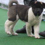 Hit - American Akita for sale