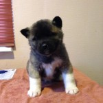 1st Female American Akita Puppy For Sale