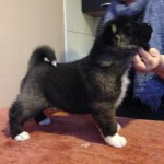 2nd Female American Akita Puppy For Sale
