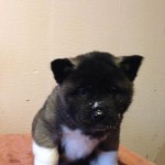 Male American Akita Puppy For Sale