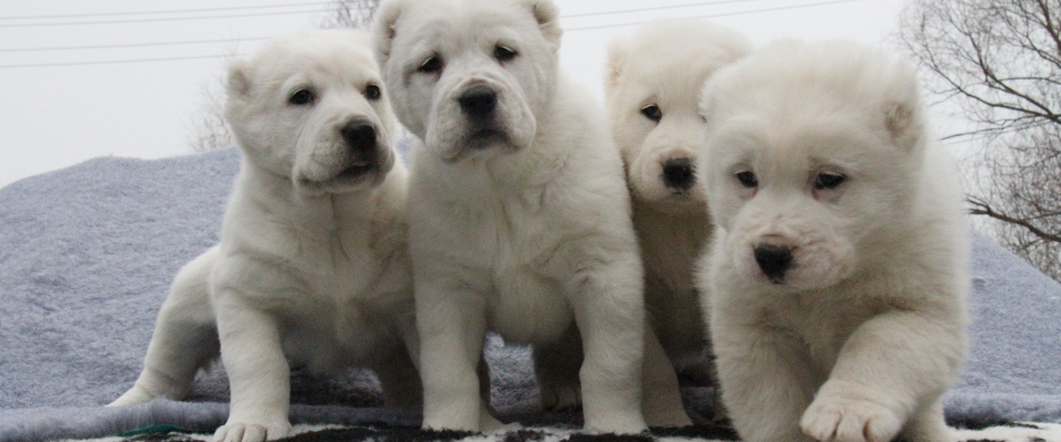 Central Asian Shepherd Puppies For Sale