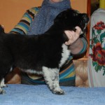 Female CAO Puppy For Sale