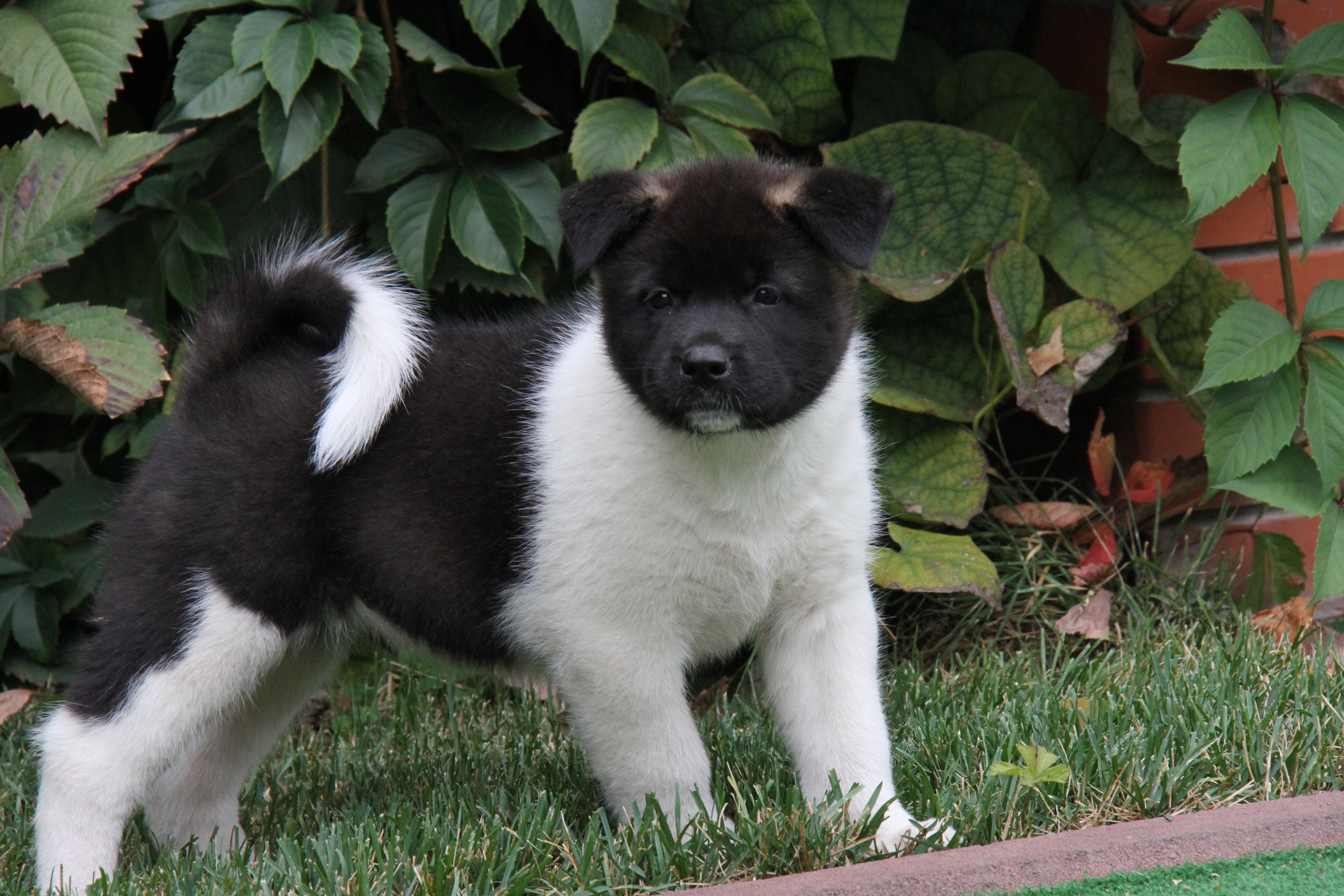 Female American Akita puppies for sale