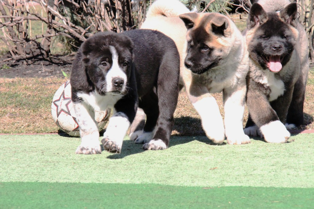 Central Asian Shepherd Puppy for Sale
