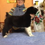 Male CAO Puppy For Sale