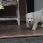 Nurdan Central Asian Puppy for sale
