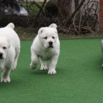Zelsi and Zofari Central Asian Puppies for sale