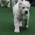 Zelsi Central Asian Puppy for sale
