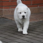 Zofari Central Asian Puppy for sale